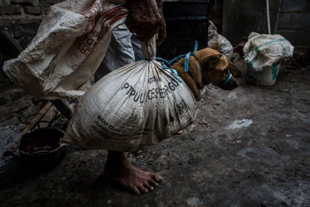 A man carries a bound dog in sacks before slaughtering it at a dog meat butchery house on July 27 2017 in Yogyakarta Indonesia Indonesians have seen...