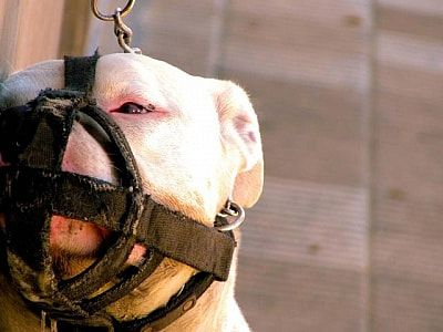 attached fighting dog