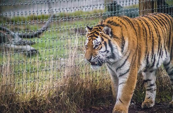 tiger-zoo-sanctuary-post