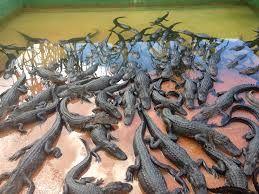 Free Images : reptile, aquarium, terrarium, crocodiles, alligators ...