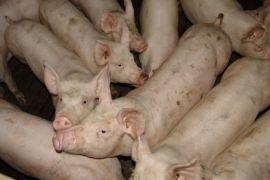 farm,mammal,pork,animals,pigs,vertebrate